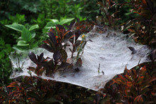Large And Dense Spider Web On A Garden Hedge