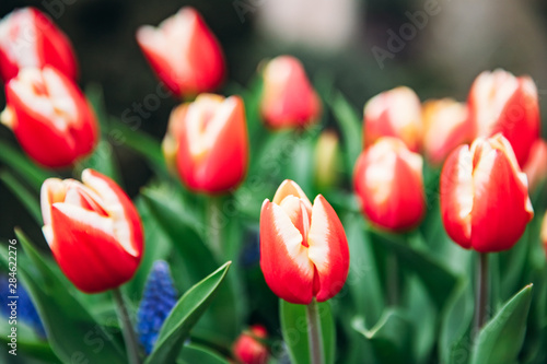 Red tulips in flower market. Natural background