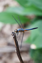 Blue Dasher Dragonfly With Pattern Of Yellow And Orange On The Side Of The Body, Predator Insects With Transparent Wings On A Branch