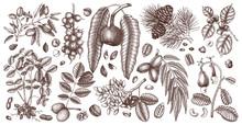 Vector Nut Trees And Plants Collection. Hand Drawn Pecan, Macadamia, Pine Nuts, Walnut, Almond, Pistachio, Chestnut, Peanut, Brazil Nut, Hazelnut, And Cashew.