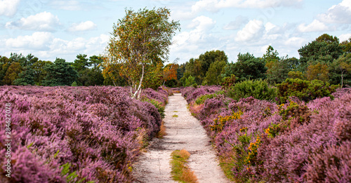 Photo The Purple Heather on Dunwich Heath Suffolk UK