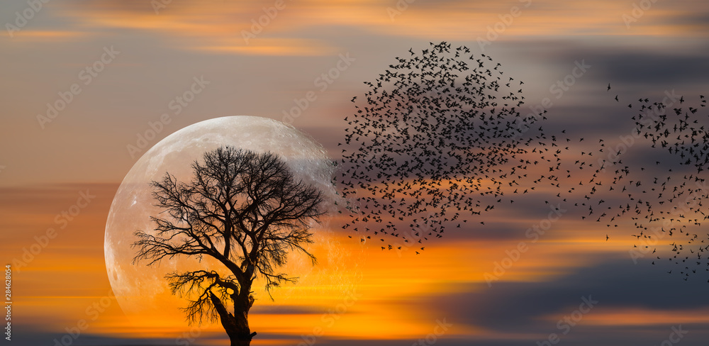 Fototapety, obrazy: Silhouette of birds with lone tree in the background big full moon at amazing sunset