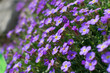 Many violet flowers of aubrieta deltoidea or aubretia