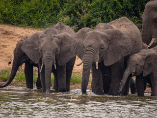 Elephants on the banks of the Kazinga Channel, Uganda