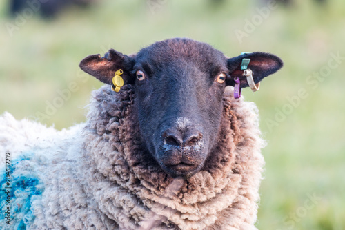 Cuadros en Lienzo A female sheep looking directly into the camera
