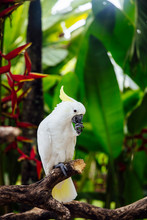 White Cockatoo (Cacatua Alba) In The Tropical Forest