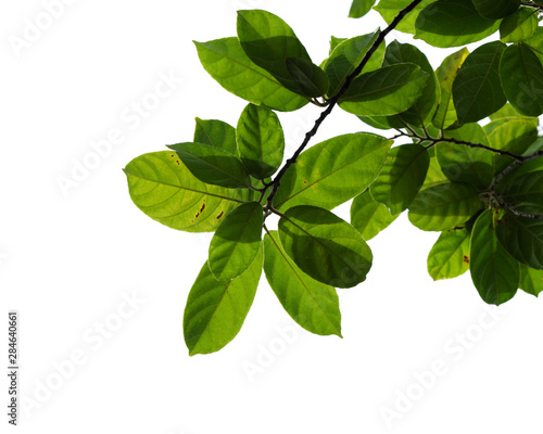 Fototapety, obrazy: green tree branch isolated on white