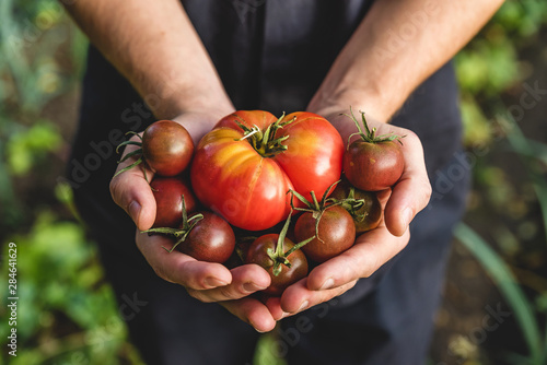 Obraz Organic vegetables. Healthy food. Fresh organic tomato and tomatoes cherry in farmers hands - fototapety do salonu