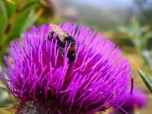 Abeille Sur Fleur Violette Qui...