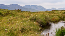 Fluffy Blooms Of Cottongrass Also Known As Bog Cotton Swaying In The Wind On The Banks Of A Pond At The Top Of An Irish Mountain. Summer Scene On Torc Mountain In County Kerry, Ireland.