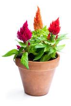 Colorful Celosia Plants In Flo...