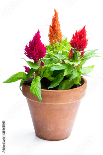 Colorful celosia plants in flower pot isolated on white. Canvas Print