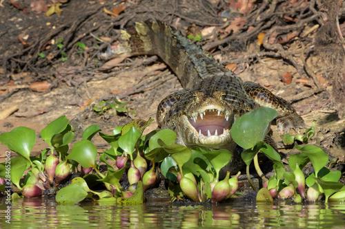 Fotografija  Yacare caiman (Caiman crocodylus yacare) with open mouth at riverbank, Pantanal,