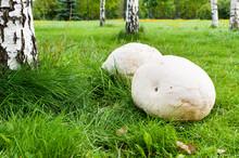 Giant Puffball Mushroom In Park
