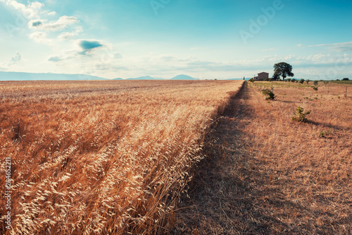 Oat field at sunrise near Valensole, Provence, France. beautiful summer landscape