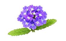 Purple Verbena Flowers And Lea...