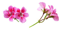 Set Of Pink Geranium Flowers