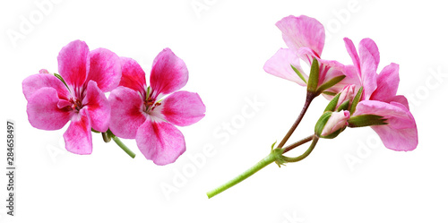 Set of pink geranium flowers Canvas Print