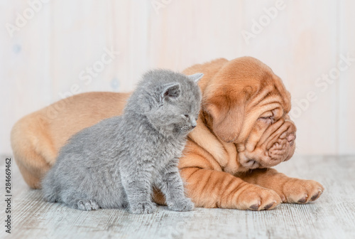 Fototapeta Sleepy mastiff puppy with baby kitten lying in profile on the floor at home obraz na płótnie