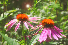 Two Red Coneflowers In A Green Garden