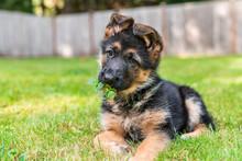 German Shepherd Puppy With Lea...