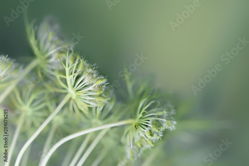 Fototapeta  umbelliferous seed stands of carrot against a soft green background with copy sp
