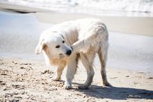 Dog Biting His Tail On A Summer Baltic Seashore.