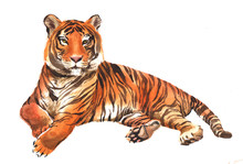 Watercolor Single Tiger Animal...