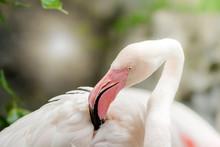Pink Flamingo-close Up, It Has...