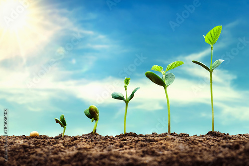 Fototapeta soybean growth in farm with blue sky background. agriculture plant seeding growing step concept obraz