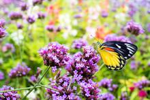 Butterfly On Verbena Floer In ...