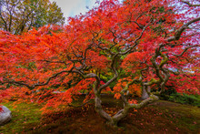 Japanese Maple Tree, Seattle Japanese Garden