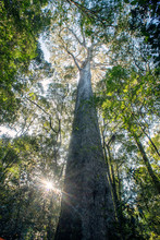 Tall Yellowwood Tree In Forest...