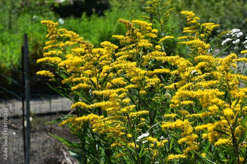 Fotografia Solidago Canadensis known as Canada Goldenrod or Canadian Goldenrod is an herbaceous perennial plant of the family Asteraceae