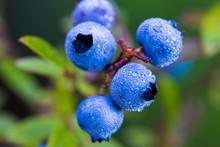 Wild Blueberries Vaccinium Ang...
