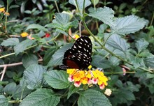 Tiger Longwing (Heliconius Hecale) Or Golden Helicon Butterfly On Yellow Flower