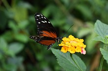 Tiger Longwing (Heliconius Hec...