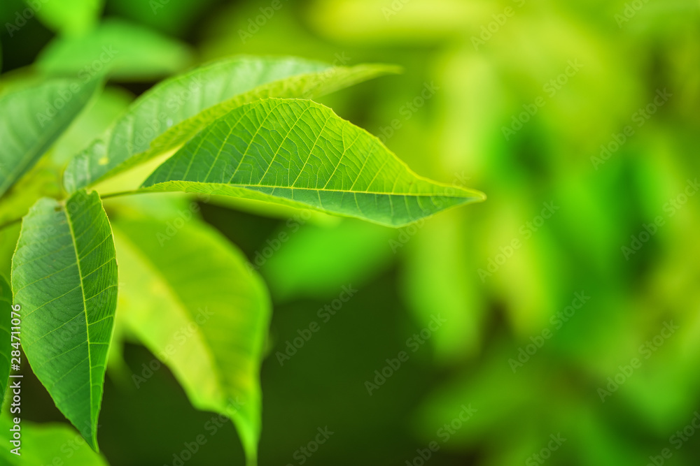 Fototapety, obrazy: Close-up green leaf on branch. Natural environment concept