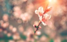 Wild Flowers Sakura Bush At Su...