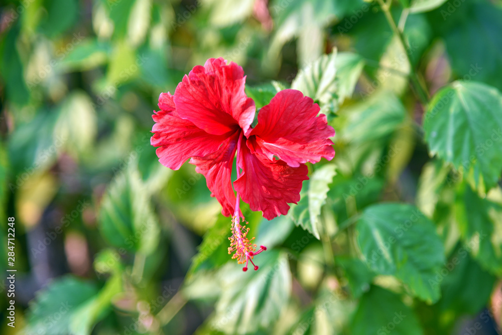 Fototapety, obrazy: Magenta hibiscus flower. Red petal blossom flowers.