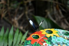 Sapho Longwing  (Heliconius Sapho) Butterfly