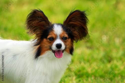 Foto  Dog breed papilon