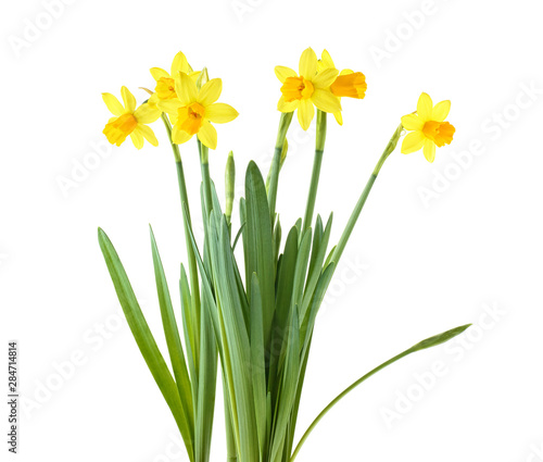 Garden Poster Narcissus Daffodils. Yellow narcissus flowers isolated on a white background.