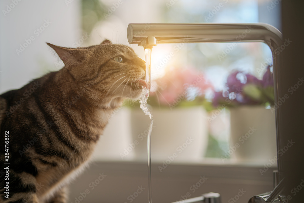 Fototapety, obrazy: Beautiful short hair cat drinking water from the tap at the kitchen