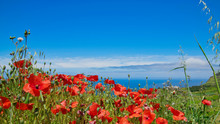 Poppy Seed Flowers And Other Flowers And Gras Field Achadas Da Cruz Village  View To Atlantic Ocean In Summer Sunny Day Near Cable Car In Porto Moniz District, Madeira, Portugal