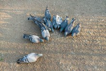 Group Of Eating Pigeons, Top V...