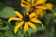Bee On A Black Eyed Susan Flower