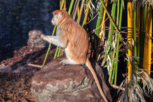 Patas Monkey Standing On The S...
