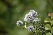 Fluffy Balls Of A Bluehead Close Up On A Background Of Greenery