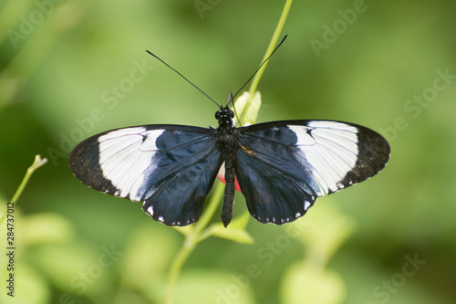 Butterfly 2019-90 / Black and white butterfly